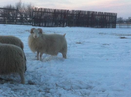 White Ram Lamb