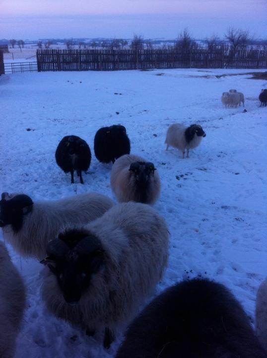 The Ram Lambs